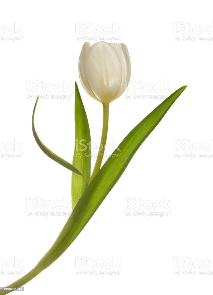 Fleur De Tulipe Blanche Photos Et Plus D Images De Arbre En Fleurs