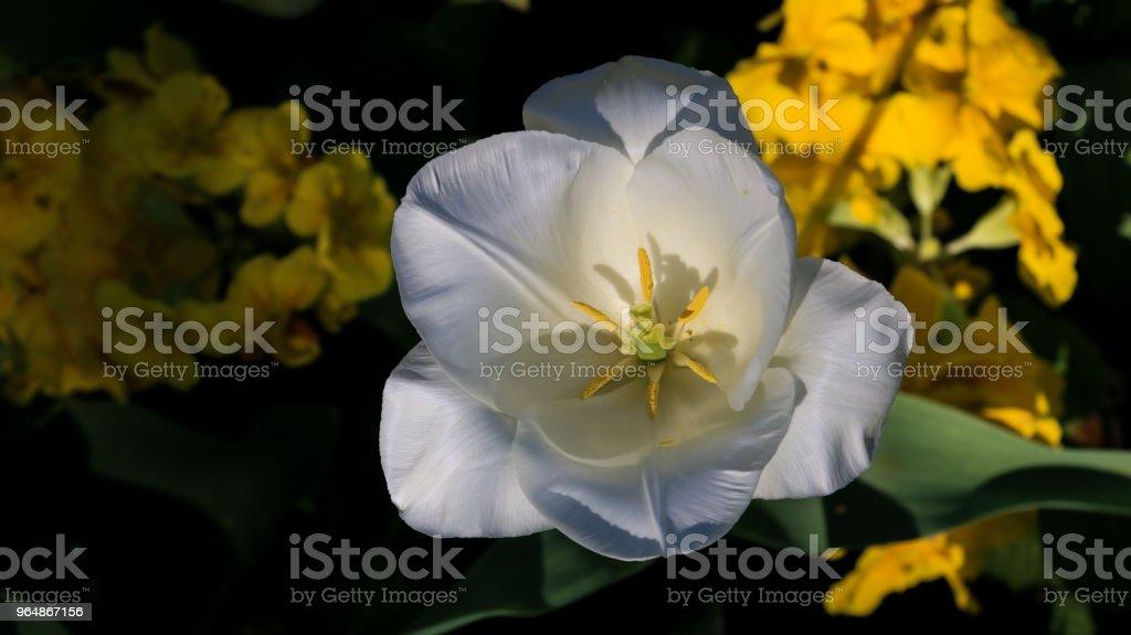 白色鬱金香花 - 免版稅前後院圖庫照片