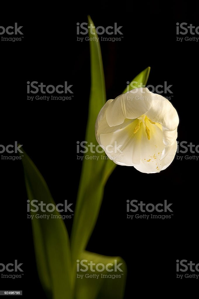 White Tulip Flower with pollen detail royalty-free stock photo