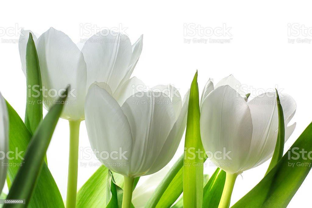 white tulip flowers isolated on white stock photo