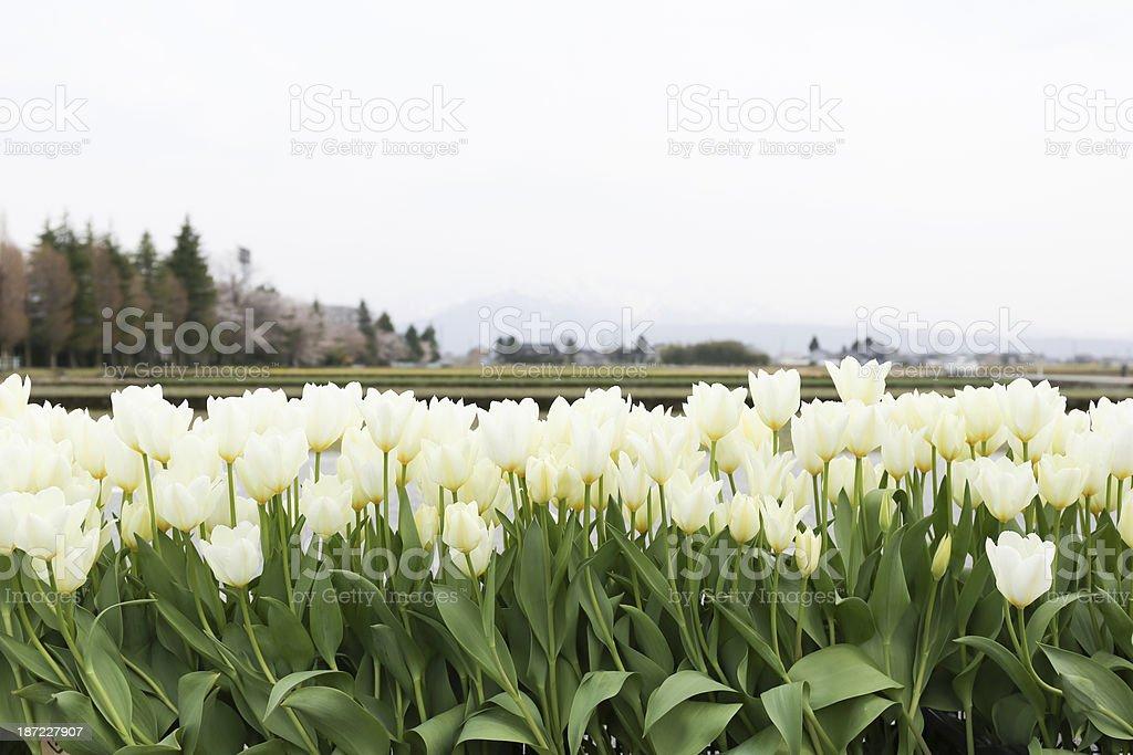 White tulip flowers royalty-free stock photo