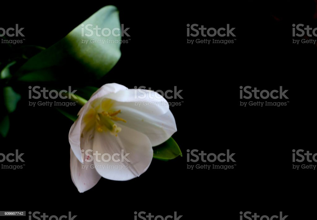 White Tulip On A Black Background A Delicate Tulip Flower With White