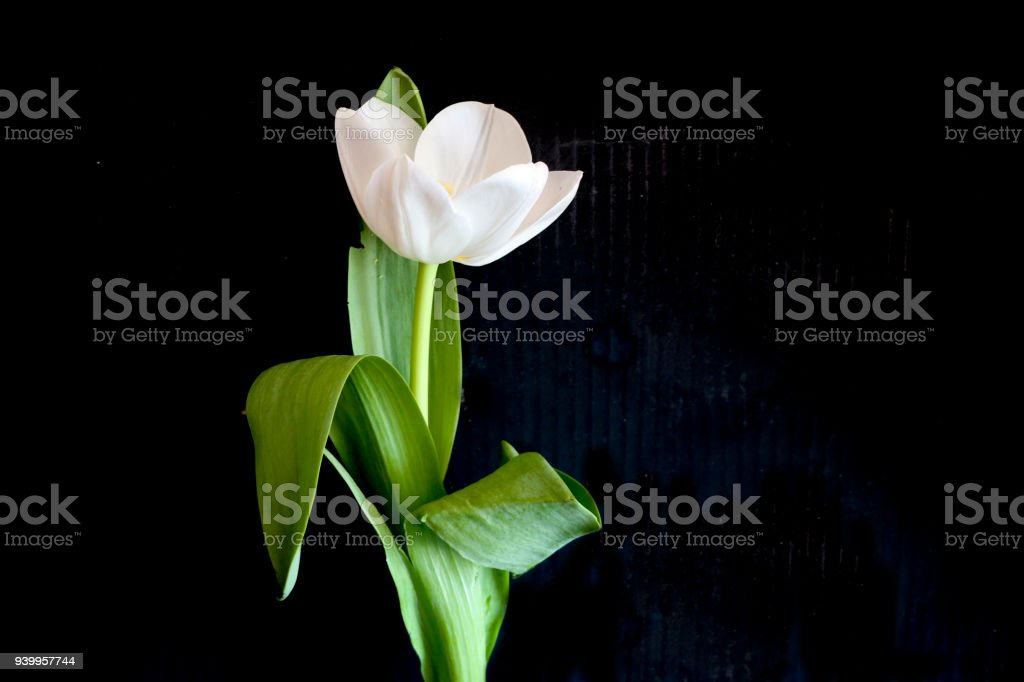 White tulip on a black background a delicate tulip flower with white white tulip on a black background a delicate tulip flower with white petals and bright mightylinksfo