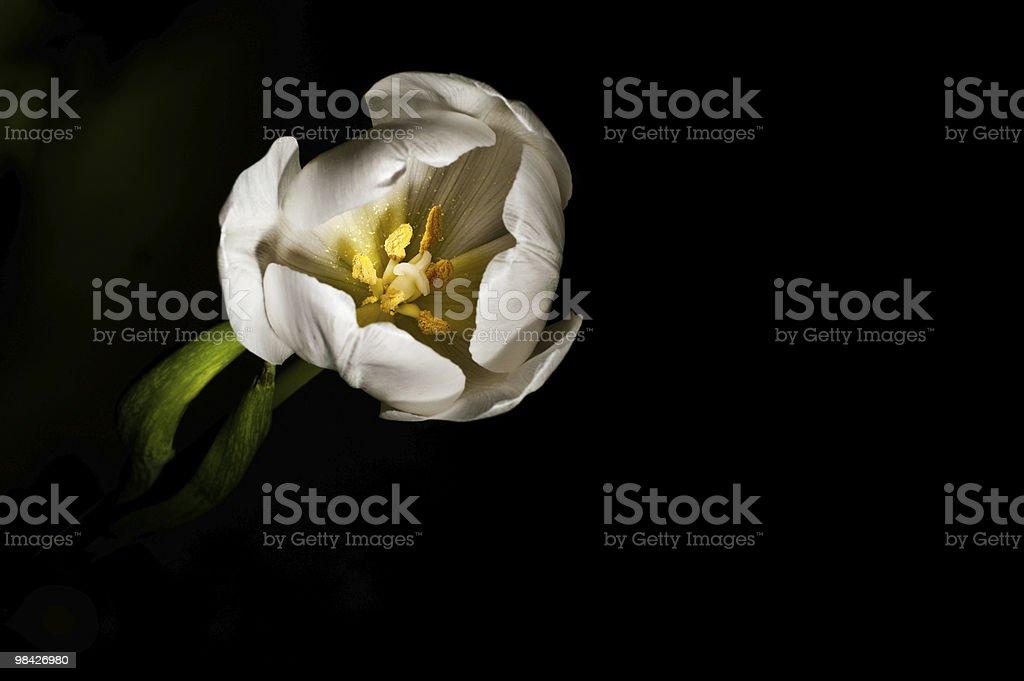 Tulipano bianco su sfondo nero foto stock royalty-free