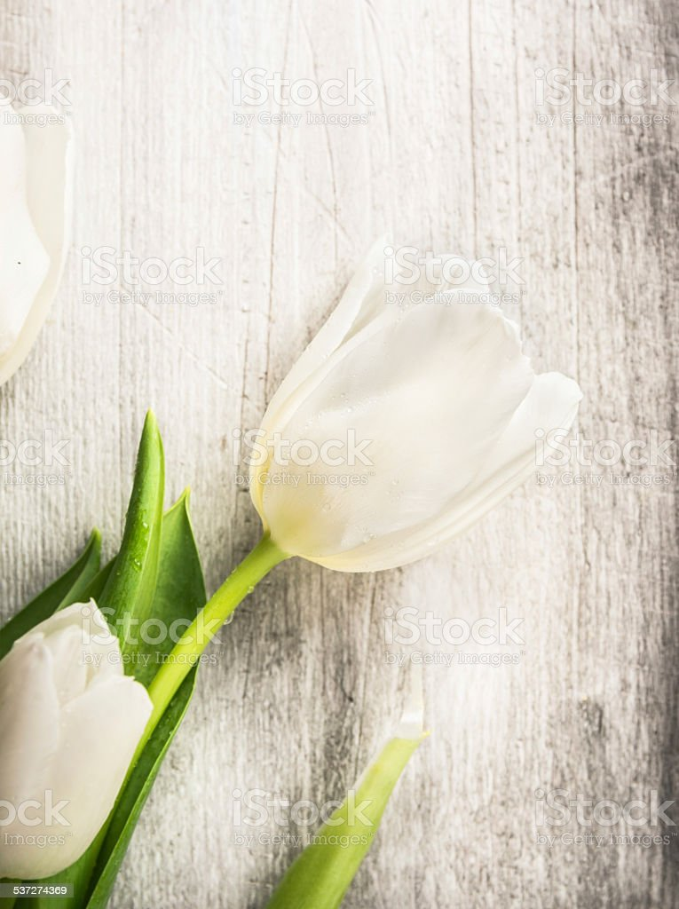 White tulip on old gray wooden background, spring card stock photo