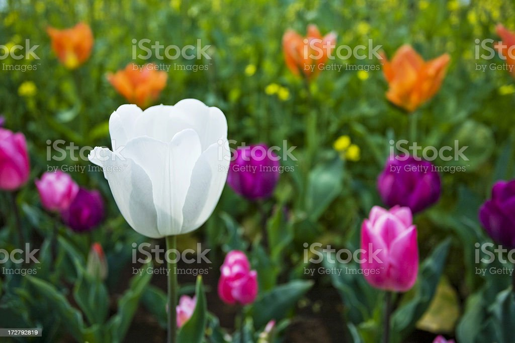 White tulip royalty-free stock photo