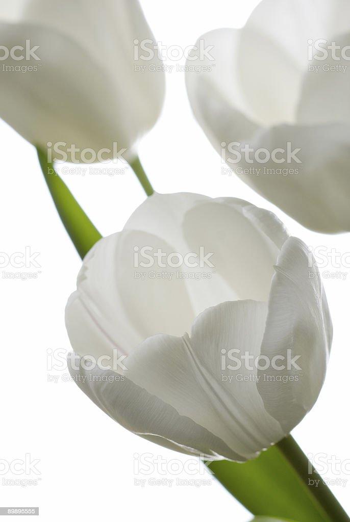 White tulip. royalty-free stock photo