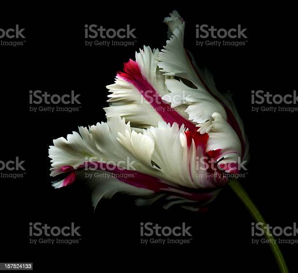 White tulip with red stripes on black picture id157524133?b=1&k=6&m=157524133&s=612x612&h=8rovv3ipo9knvp7pnwz0sggdcnzgi0s6tketlsrsso4=
