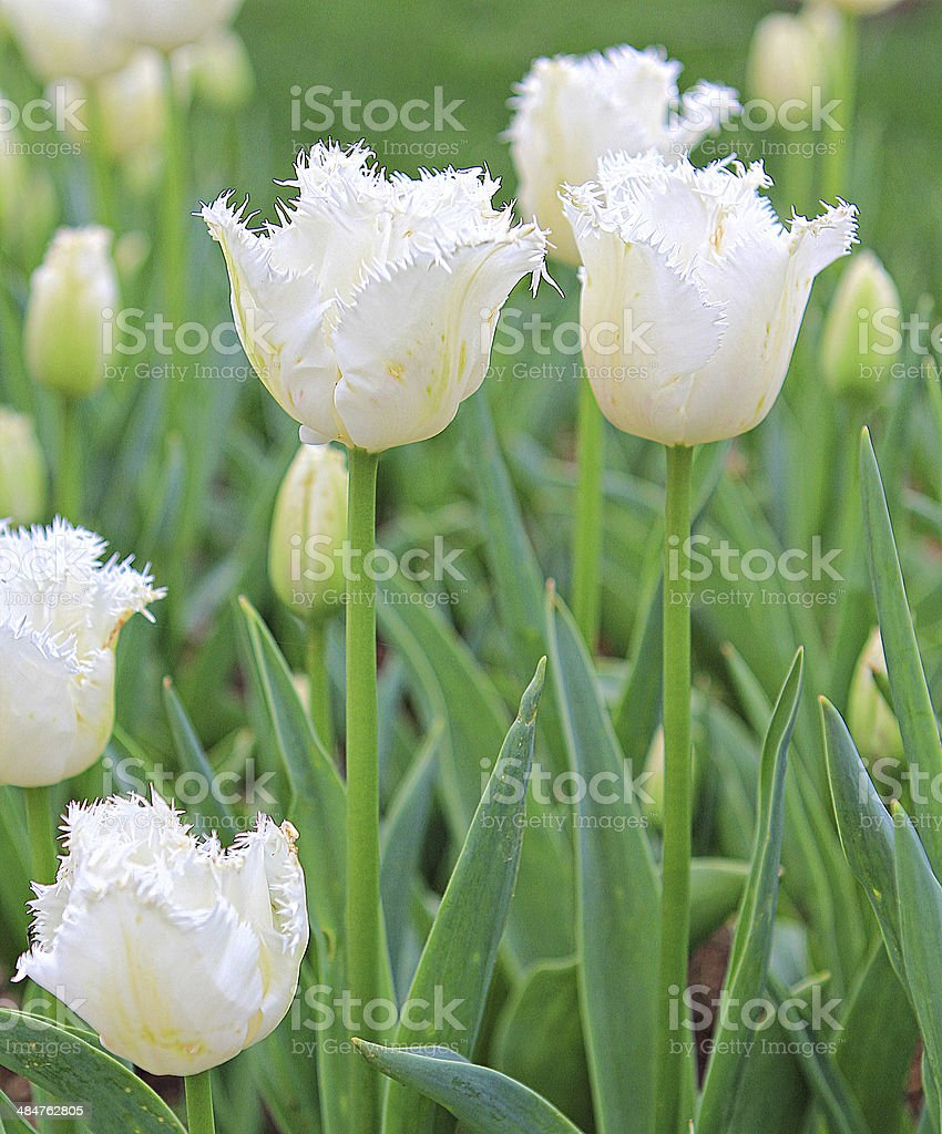 White Tulips a stock photo