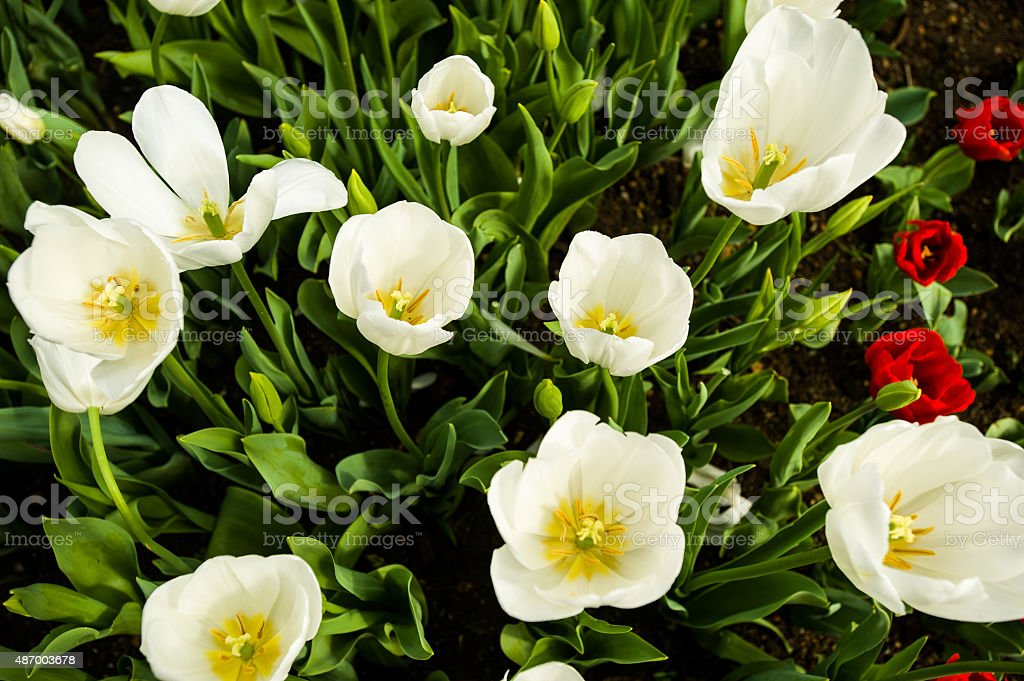 White tulips above vertical view stock photo