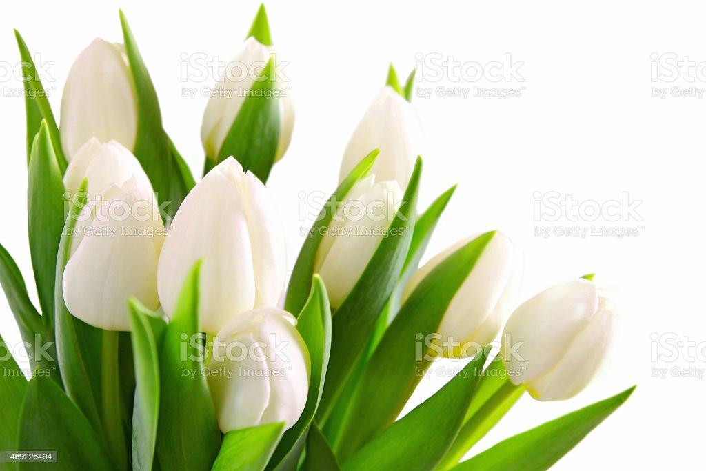 White tulips background. stock photo