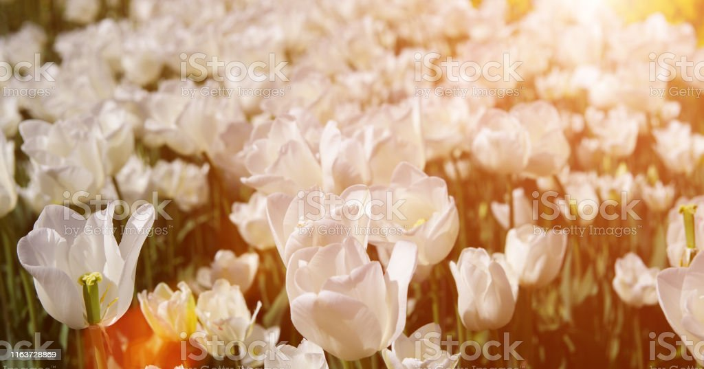 White tulips banner. Glade of tulips flowers with open buds....