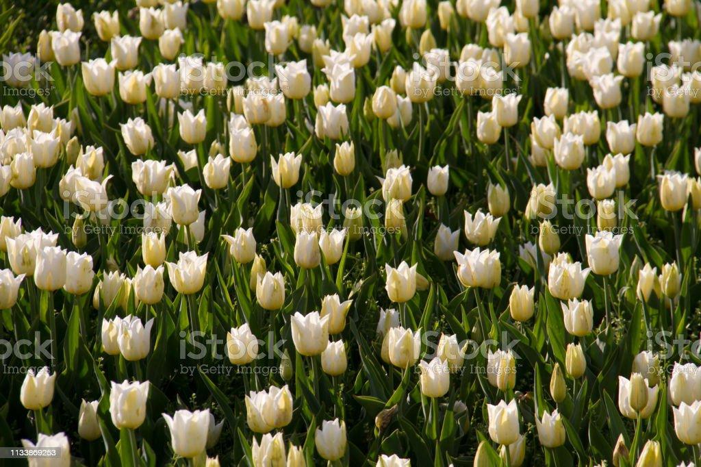 Witte tulpenveld in botanische tuin foto
