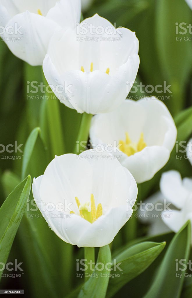 White tulips focus on the front. royalty-free stock photo