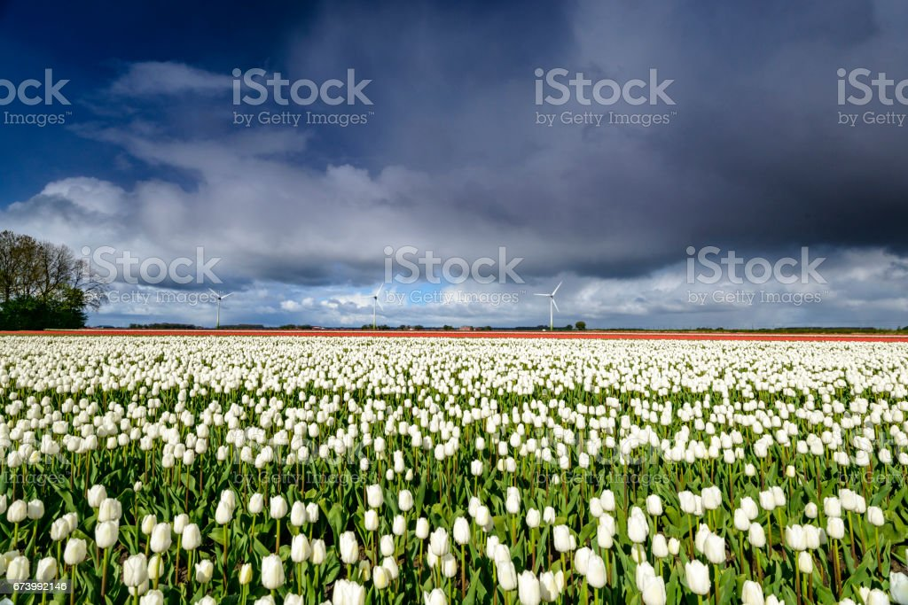White tulips in a field with a dark stormy sky above royalty-free stock photo