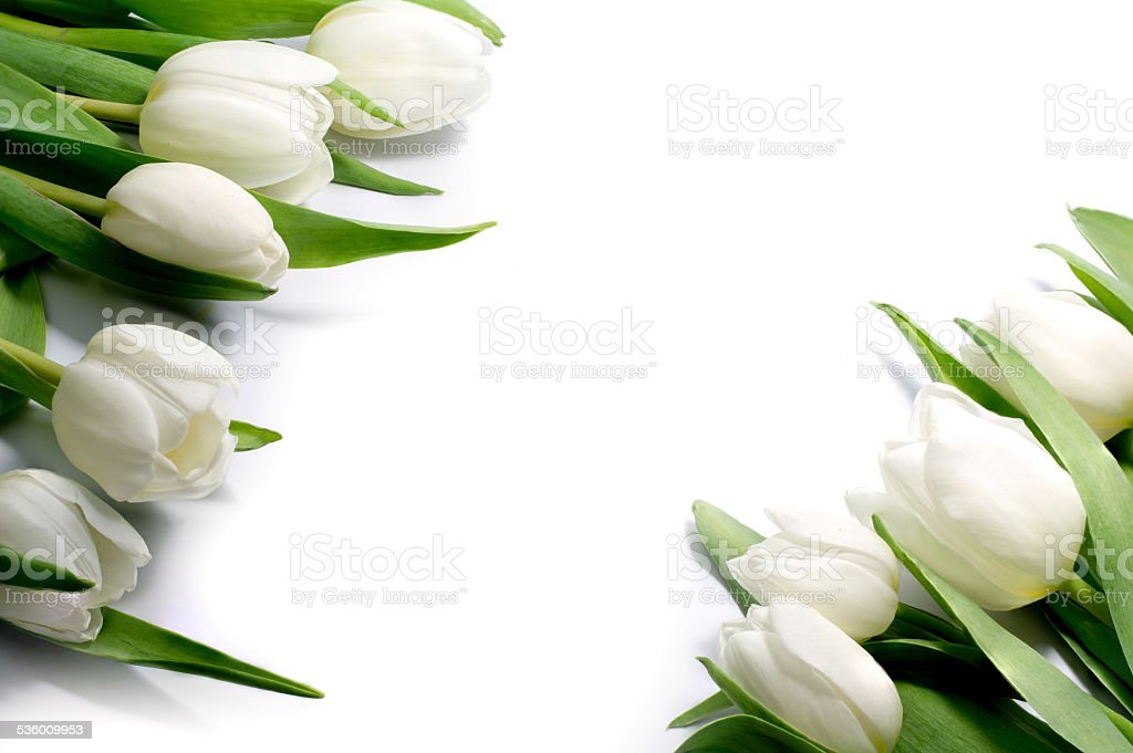 white tulips in two corners, isolated on white background stock photo