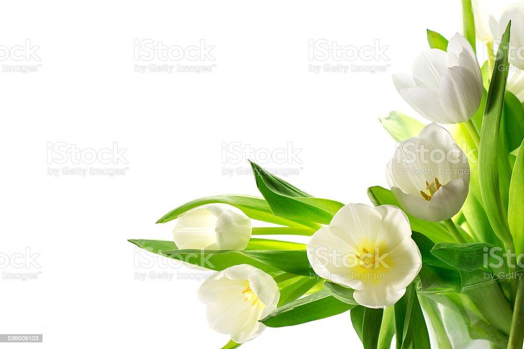 white tulips isolated on white background stock photo