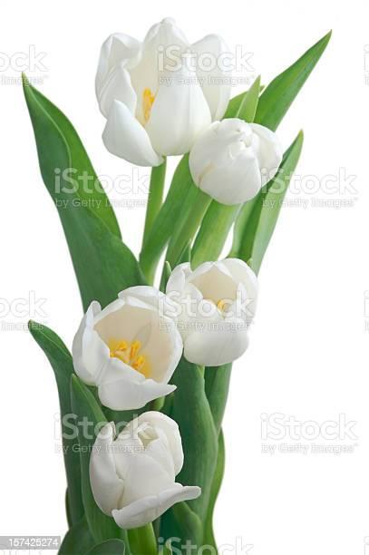 White tulips opening picture id157425274?b=1&k=6&m=157425274&s=612x612&h=aknzvrwv6ccac6dm3w9jlzahvx3fgcgvysxdwxje0pe=