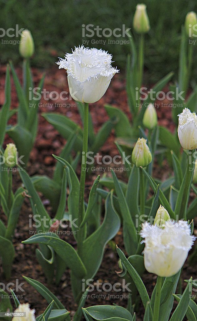 White Tulips stock photo
