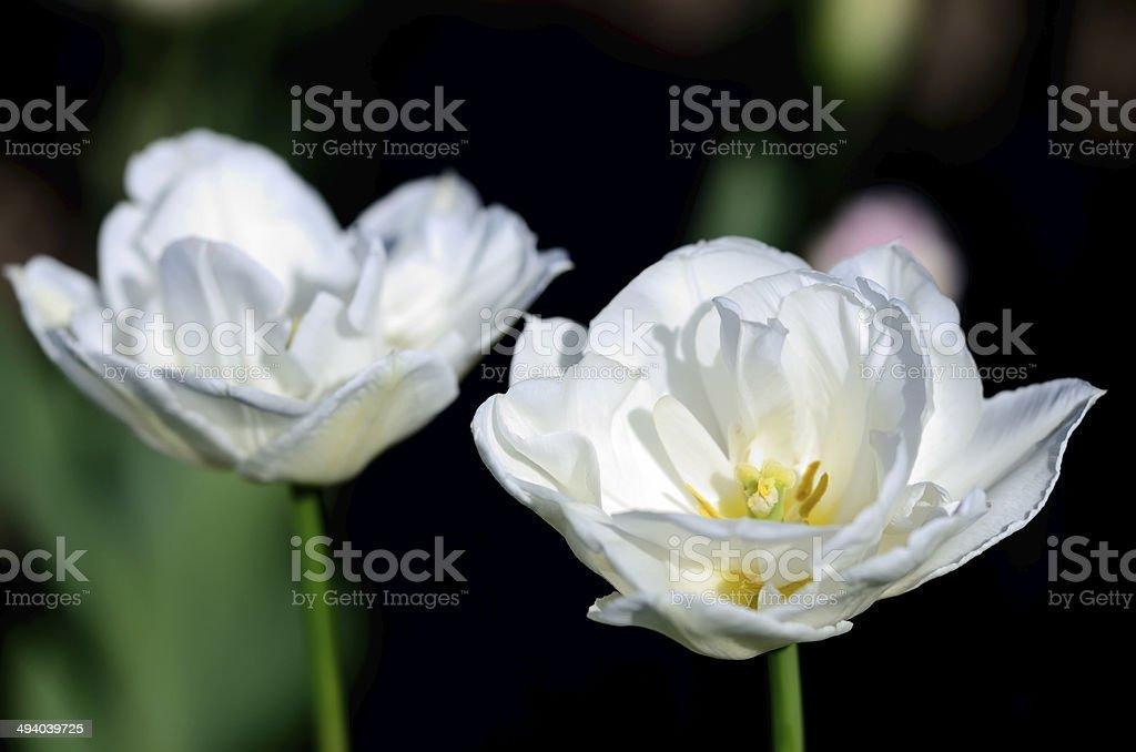 White Tulips stock photo