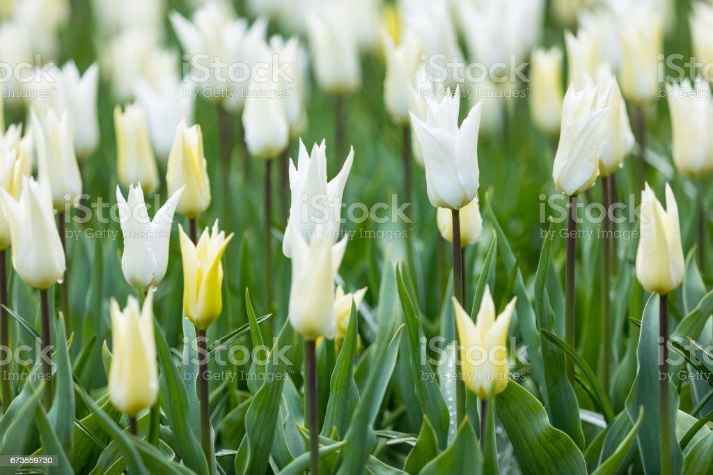 white tulips royalty-free stock photo