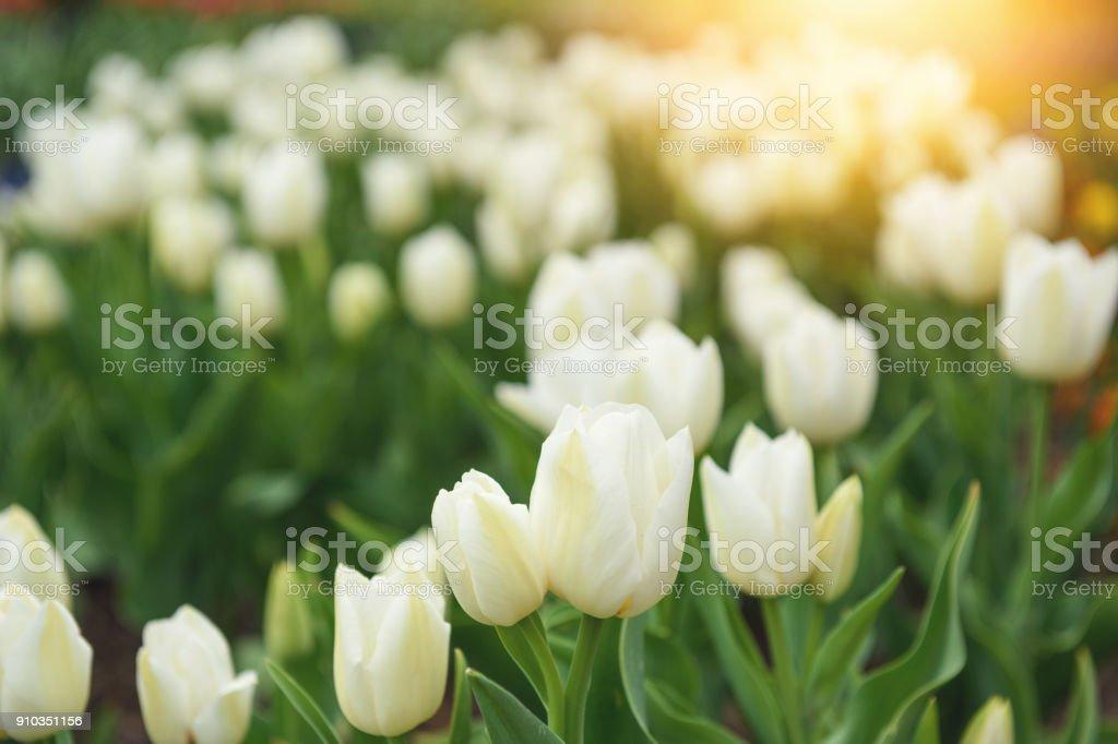 Weiße Tulpen  – Foto