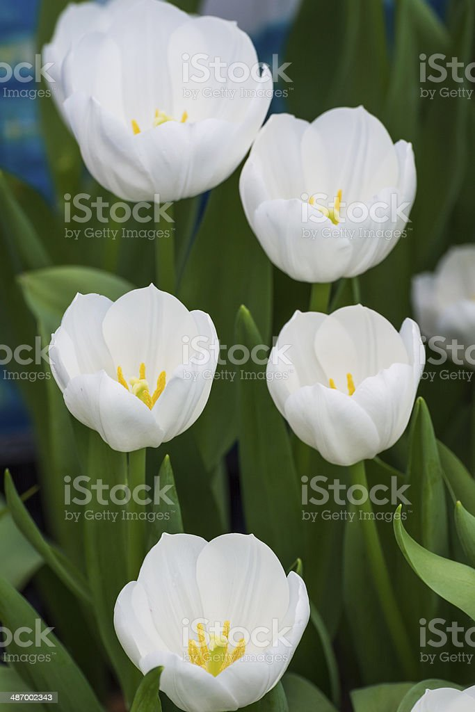 White tulips. Shallow DOF, focus on the tulips in front. royalty-free stock photo