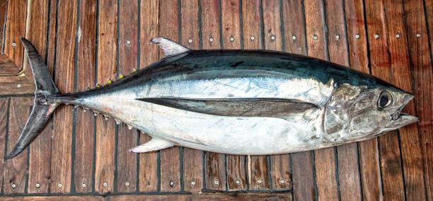 White tuna fish stock photo