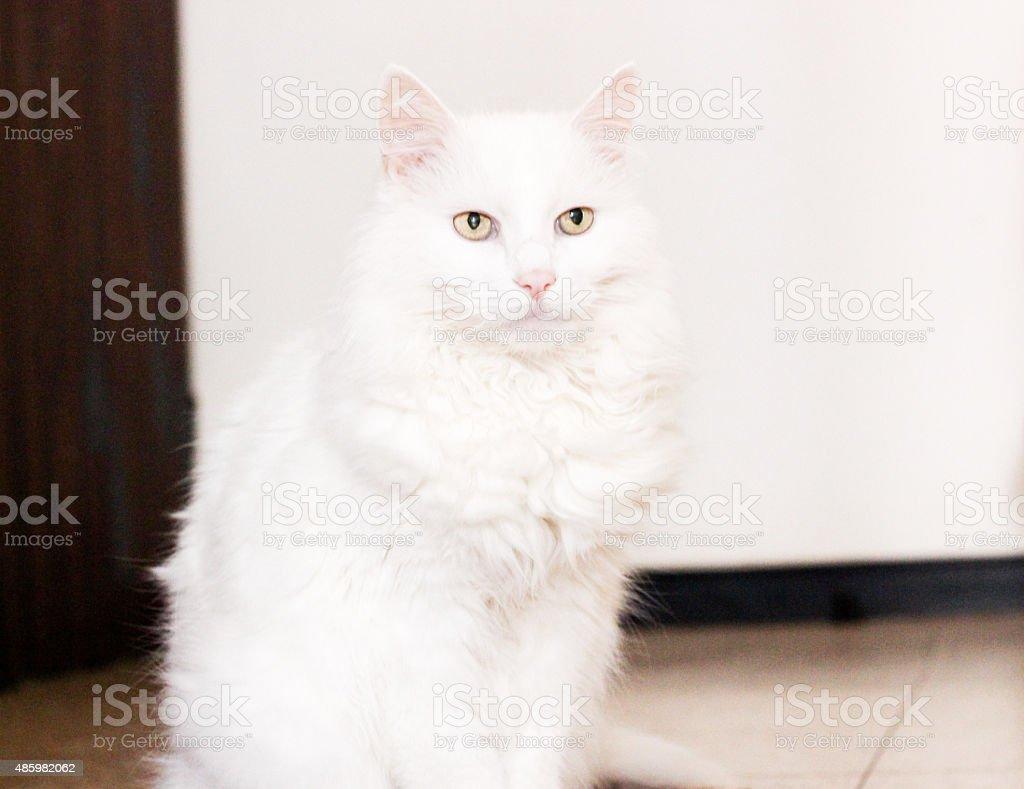White turkish angora cat stock photo
