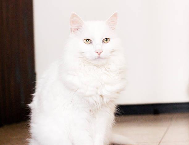 W Ultra Kot Rasowy - Zdjęcia i ilustracje - iStock AJ45