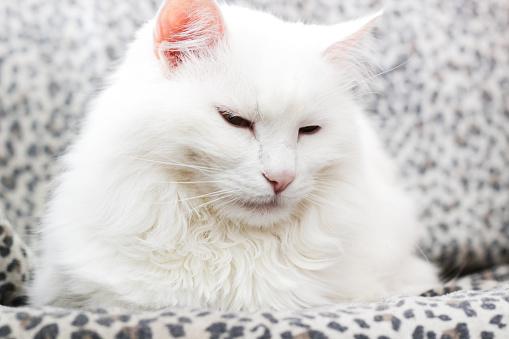 White Turkish Angora Cat Stock Photo - Download Image Now ...