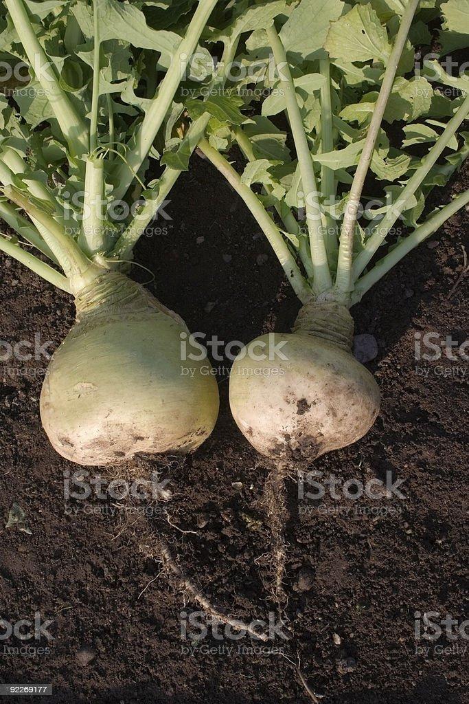 White turnips on ground royalty-free stock photo