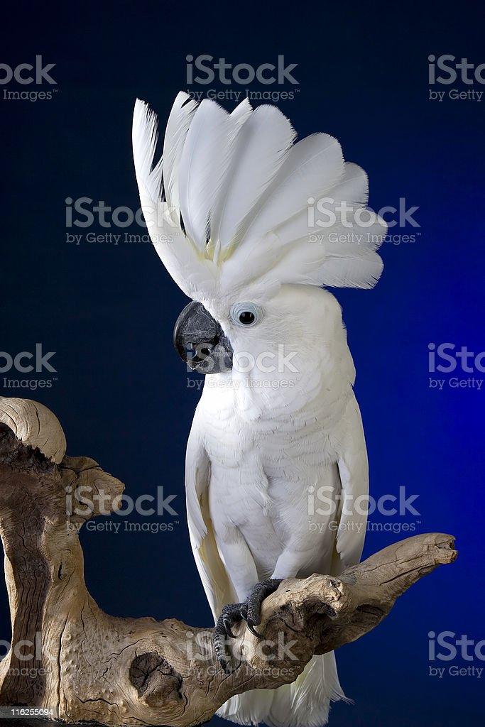 White Umbrella Cockatoo royalty-free stock photo