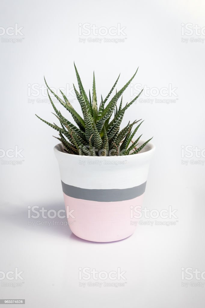White vase with Haworthia fasciata, a species of succulent plant, on a white background. The vase white and pink with a grey stripe - Zbiór zdjęć royalty-free (Bez ludzi)