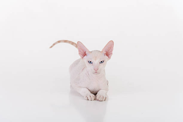 White Very Young Peterbald Sphynx Cat stock photo