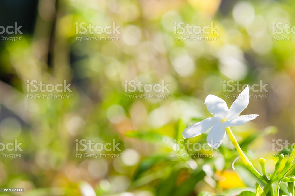 White Vinca Flower Stock Photo More Pictures Of Backgrounds Istock