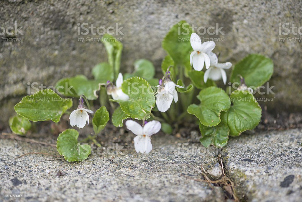 White Violets Growing In Cracked Sidewalk royalty-free stock photo