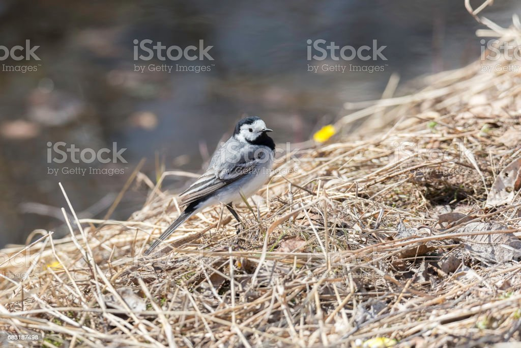 White Wagtail in Grass 免版稅 stock photo
