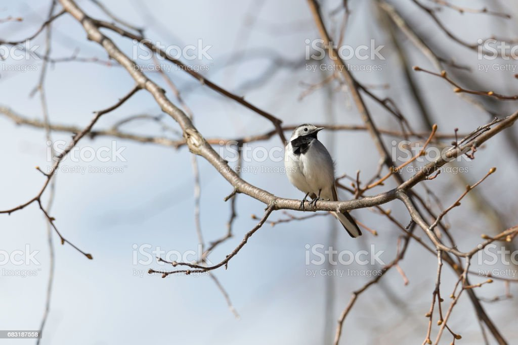 White wagtail Sitting in Tree royalty-free 스톡 사진