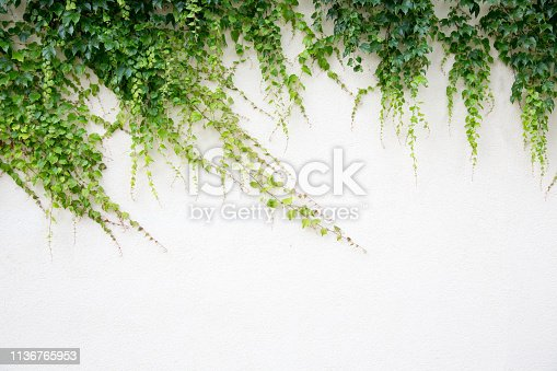 White wall covered with lush green hanging Hedera background texture.