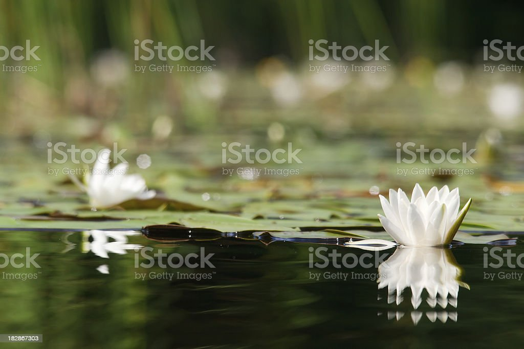 White water lilies in the lake. royalty-free stock photo