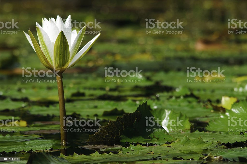White Water Lilly royalty-free stock photo