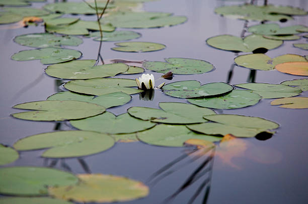 White water lilly – Foto
