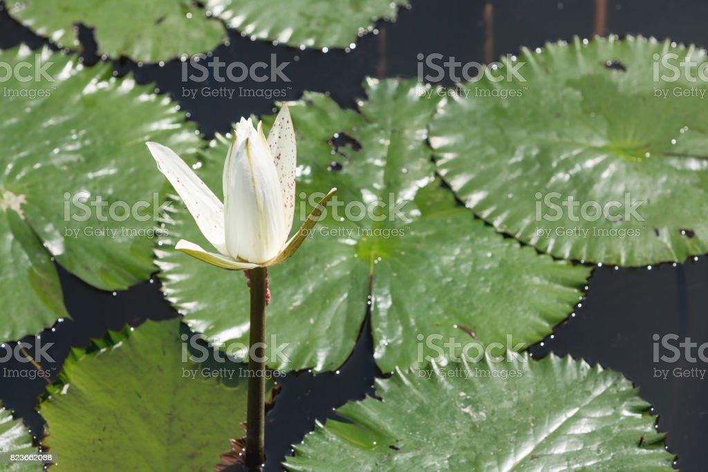 White water lily blossom among green algae in the lake at Pura Taman Ayun. Bali stock photo