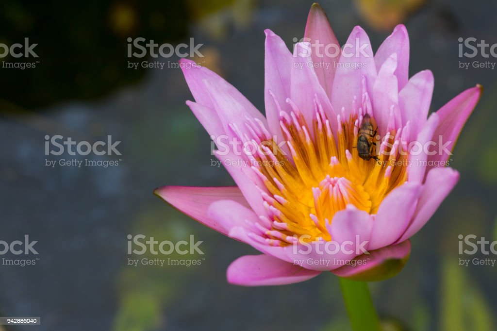 White water lily flower is national flower for india lotus flower is white water lily flower lotus and white background the lotus flower water mightylinksfo