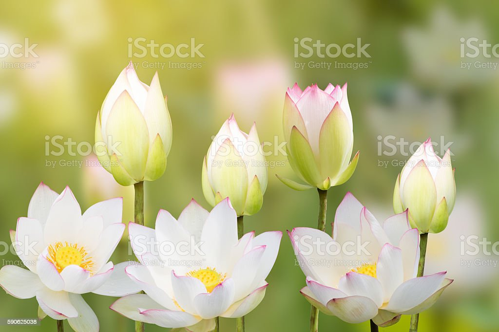 white water lily flower (lotus) and white background. The lotus – Foto