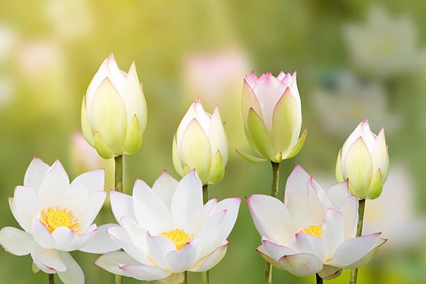 white water lily flower (lotus) and white background. the lotus - lotus symbol stock-fotos und bilder