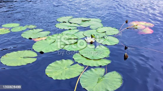 Blooming White Water Lily or Lotus flower and large round leaves floating on the blue silky surface of the lake. Top angle view, copy space, selective focus.