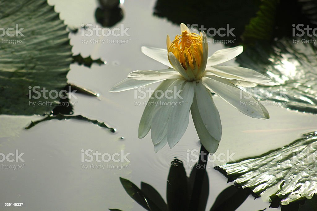 White water lily in a pond stock photo