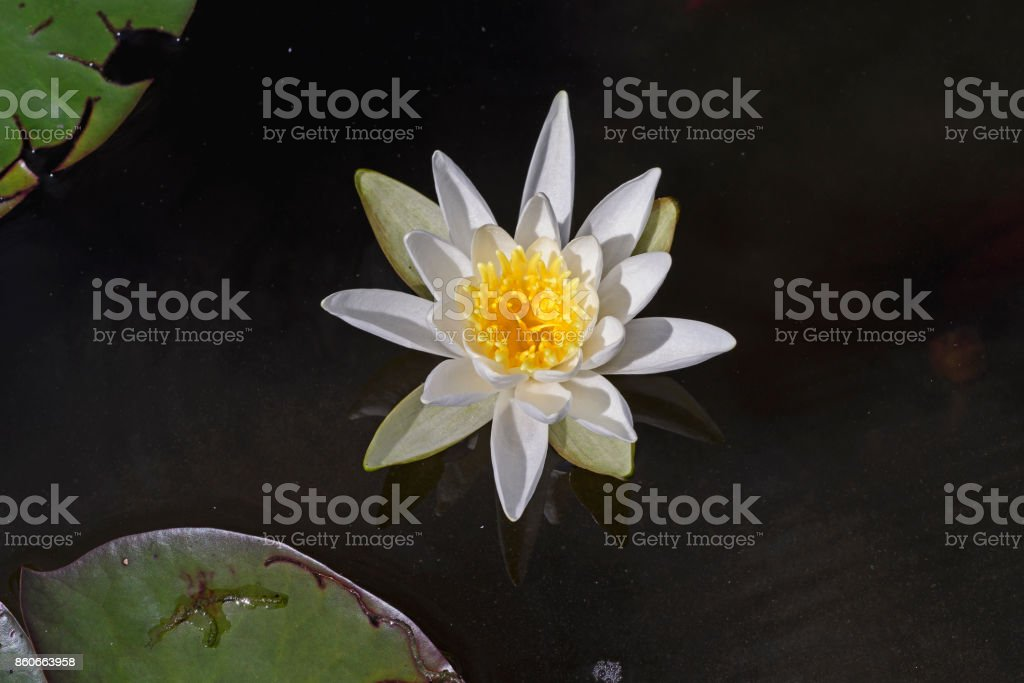 White Water Lily in a Quiet Pond stock photo